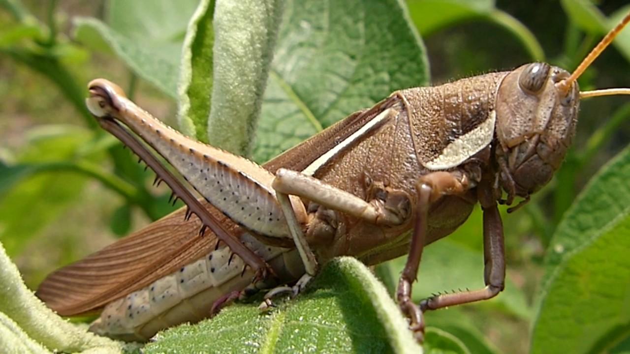 insetos fauna brasileira sertaneja GAFANHOTOS E GRILOS animais ...