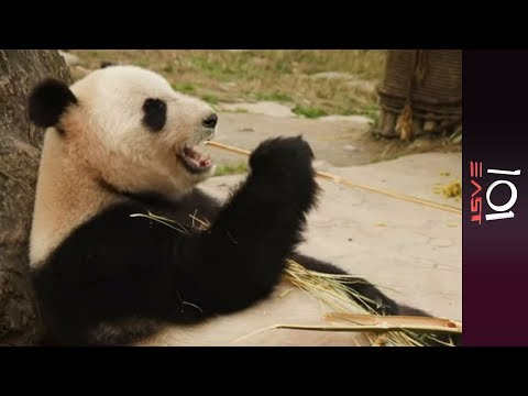 101 East - Saving China's Pandas