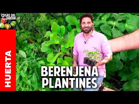 Como cultivar berenjena en el huerto y en macetas - 2