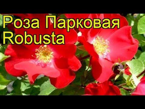 Роза парковая Робуста (Robusta). Краткий обзор, описание характеристик, где купить саженцы