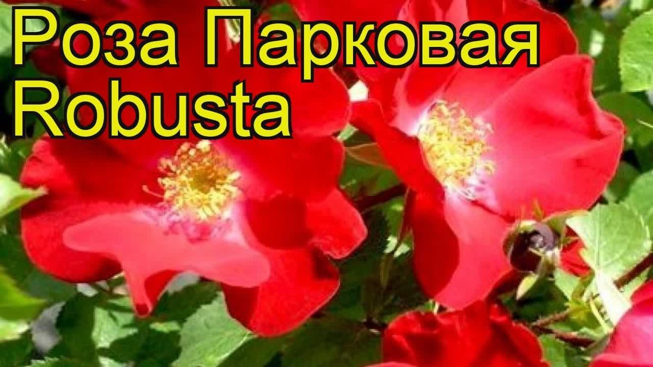 Ликер из лепестков чайной розы - YouTube