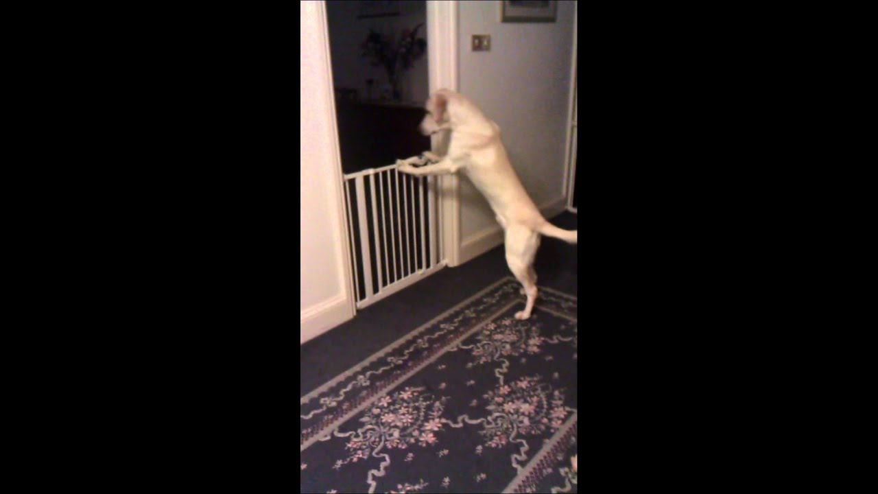 Labrador Opens The Door, With Puppy Gate