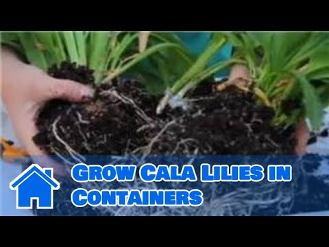 Lilies More How To Grow Cala Lilies In Containers Youtube