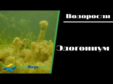 Эдогониум в аквариуме - причины и как бороться и избавиться от этой водоросли