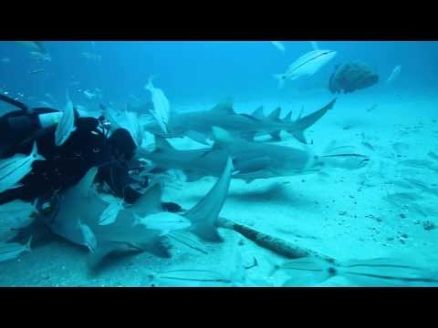 SCUBA diving with LOTS of gorgeous sharks with Randy of Emerald Charters in Jupiter