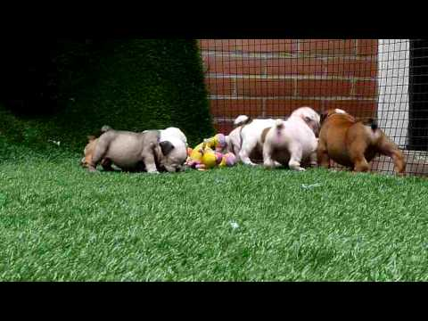 Miniature English Bulldog Info, Temperament, Puppies, Pictures
