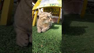 【cat】店先で客引きをする猫ちゃん達【बिल्ली】
