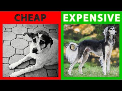 🐕 Most Expensive Dogs – TOP 10 Most Expensive Dogs In The World 2019!