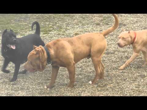 MCK's Paladino Mastiff Breeding Program