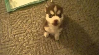 8 Wk Old Husky Pup Sits And Speaks On Command