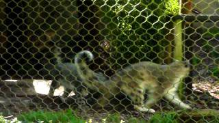 the mating game! - snow leopards @ the san francisco zoo