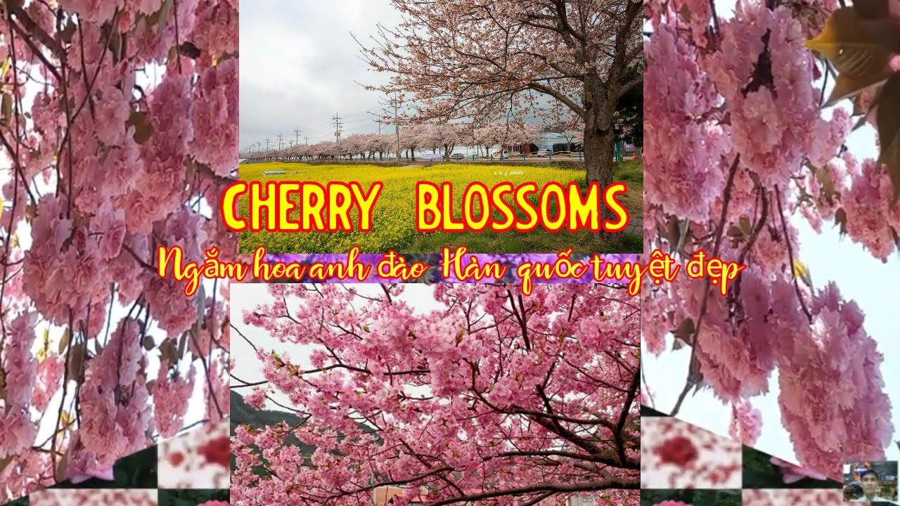 Hoa anh đào Hàn Quốc - Cherry blossoms Korea - 벚꽃 - Ngắm hoa Anh đào Hàn Quốc - Cherry blossoms