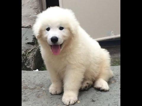 Kuvasz Puppy 2 Months Old Youtube