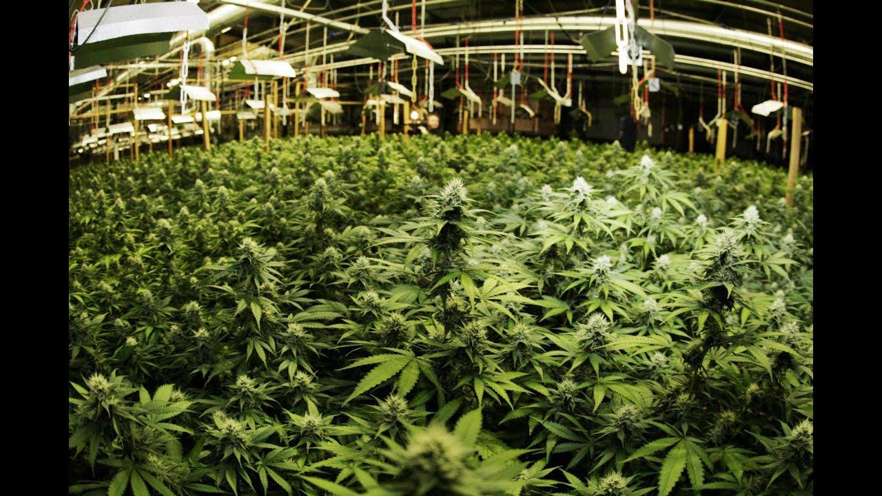 Key marijuana drug approval looms as cannabis goes mainstream