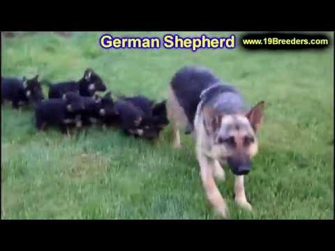 German Shepherd, Puppies, For, Sale, In, Anchorage, Alaska,AK, Fairbanks, Juneau, Eagle River