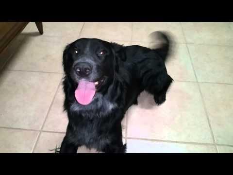 DOG FOR ADOPTION Black Flat Coated Retriever Mix