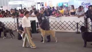 Kennel Club Peruano - Exposición Canina 23/02/2013 - Schnauzer Miniatura Sal Y Pimienta