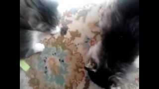 Коты-наркоманы нажрались валерьянки.
