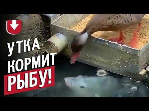 Утка кормит рыбу!