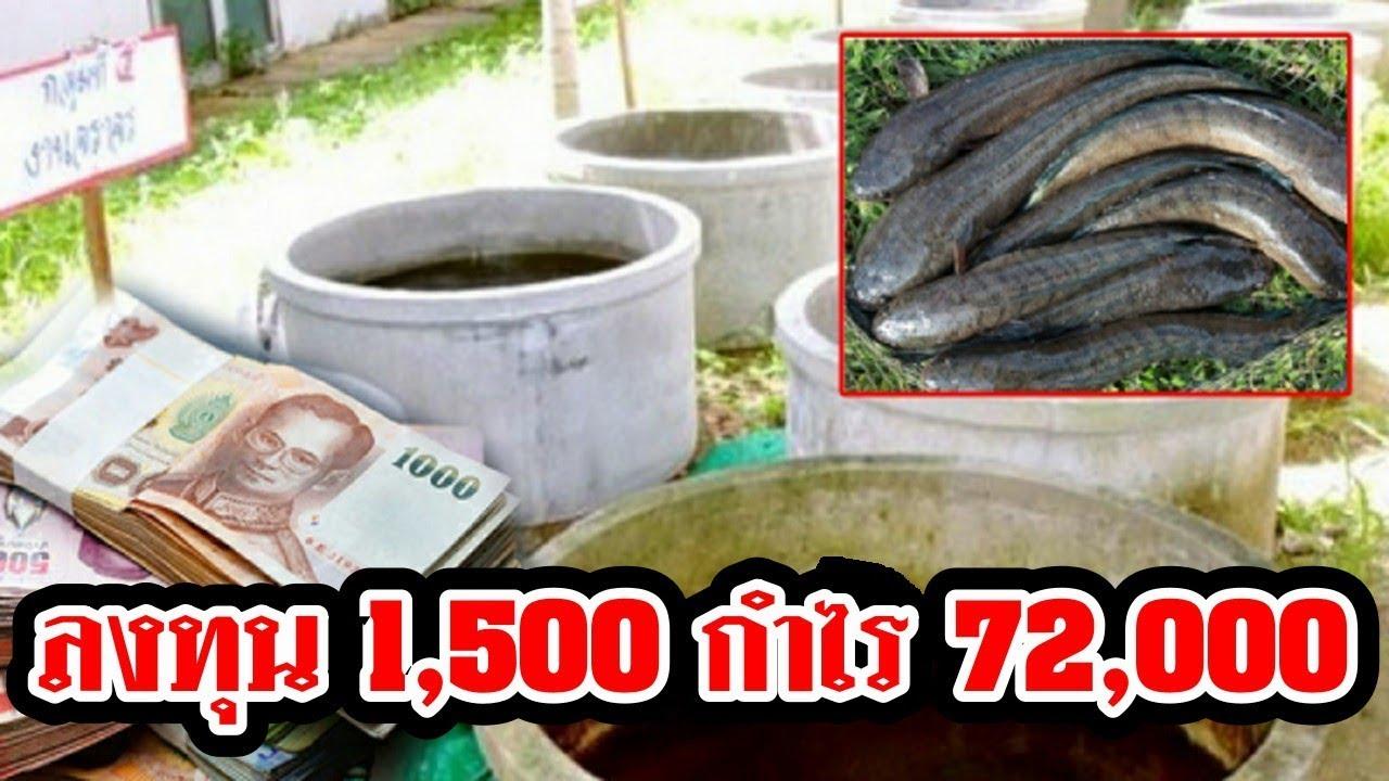 วิธีเลี้ยง ปลาช่อนในบ่อซีเมนต์เลี้ยงง่าย กำไรดี ทำเป็นอาชีพเสริม สร้างรายได้ 72,000 บาท