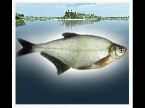 синец в трофейной рыбалке
