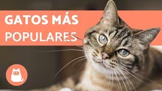 TOP 10 Razas de Gatos MÁS POPULARES del Mundo