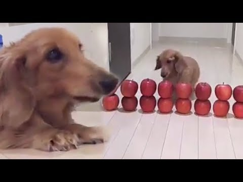 This cute dachshund puppy is a master of the obstacle course! | Bored Panda Animals
