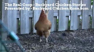 How to Raise Chickens - Chicken coop tour, chicken coop ideas, and tips about raising chickens