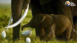 This Elephant Fought Off A Lion When His Family Was In Danger  | The Dodo