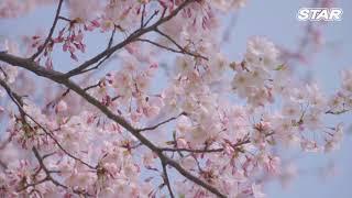 제주스타렌터카 벚꽃영상