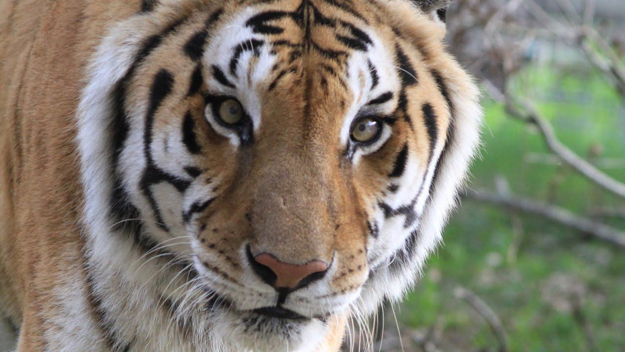 Tiger Senses - Sight