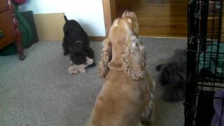 Cocker Spaniel With Puppy Singing And Barking