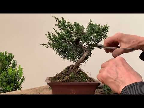 Improving Commercial Bonsai - Part 1 Junipers