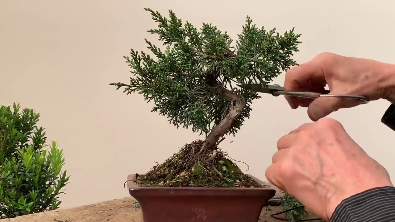 Improving Commercial Bonsai Part 1 Junipers Youtube