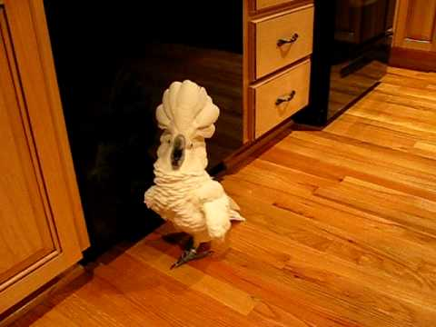 Umbrella Cockatoo Going Mad In Kitchen Floor. But A Happy Bird