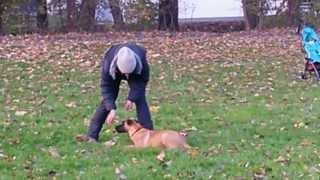 Metaxa vom Gsiberger Futtertreiben mit 17 Wochen(Hundeausbildung., 2013-11-14T18:33:17.000Z)