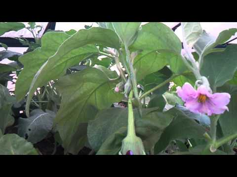 Aquaponics in the backyard tour - Canberra