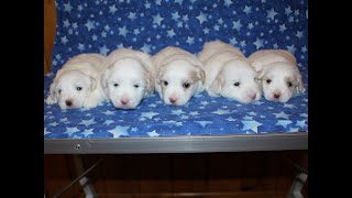 Coton Puppies For Sale - Peaches 10/2/19