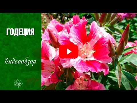 Годеция 🌼 Цветы - уход и выращивание из семян 🌼  сад и огород с  hitsadtv
