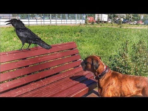 Вопрос: Почему собаки не кусают ворон, когда они лезут к ним?