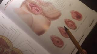 Женские наружные половые органы  Женский мочеиспускательный канал