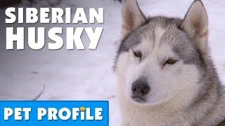 Siberian Husky Pet Profile | Bondi Vet