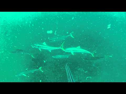 Spearfishing Seal Rocks 15kg Kingfish