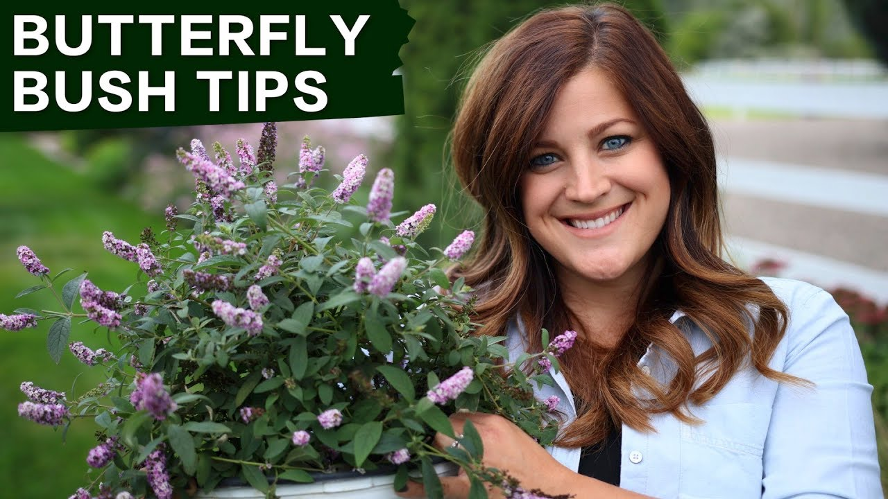 Butterfly Bush Care Tips Garden Answer Youtube