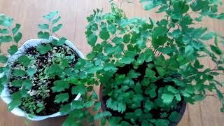 видео Адиантум (венерин волос): уход в домашних условиях, фото, виды растения, почва для пересадки, болезни