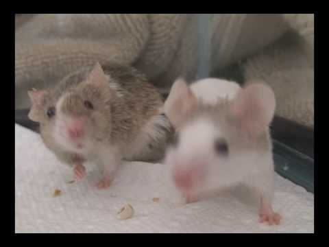 Mice Playing Youtube