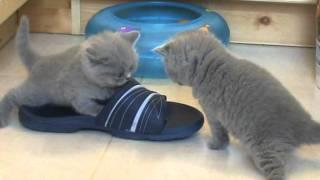 Веселые игры британских котят. П-к SILVERY SNOW
