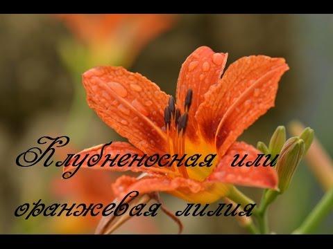 Лилия оранжевая - лилейник ,свойства. Размножение лилейника.