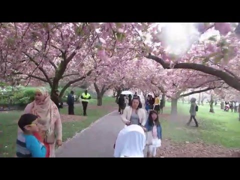 Brooklyn Botanic Garden, Sakura Matsuri, Cherry Blossom Festival, New York City, USA