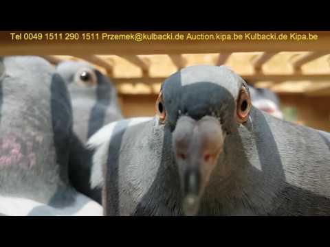 Kulbacki co tydzień wysyłka gołębi na cały świat every week shipping of racing pigeons worldwide